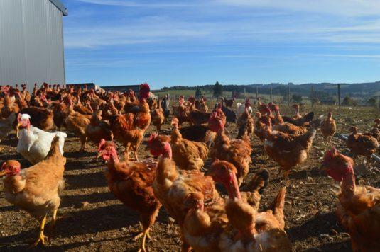 Elevage de poulet, chapon, dinde et canard GAEC du Barry